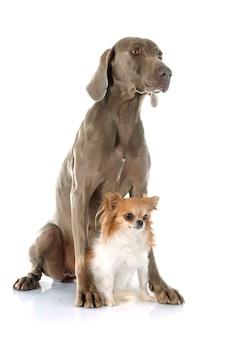 Weimaraner chien et chihuahua