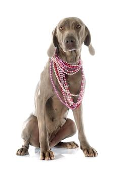Weimaraner chien