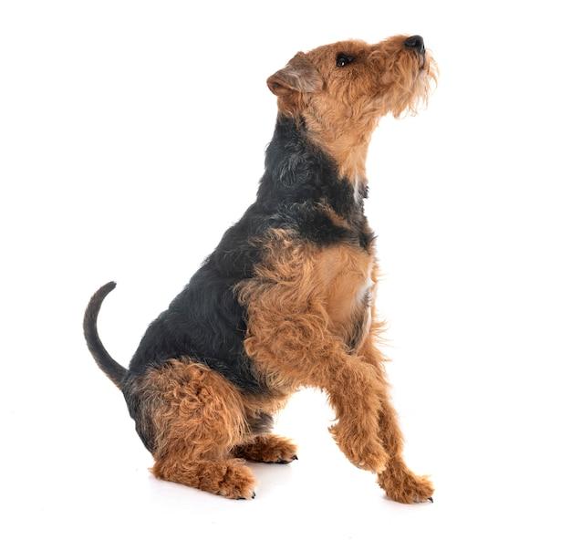 Welsh terrier en studio