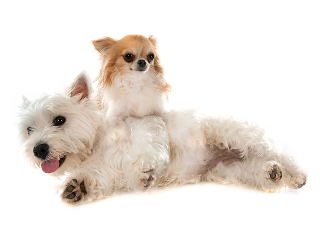 West highland terrier et chihuahua