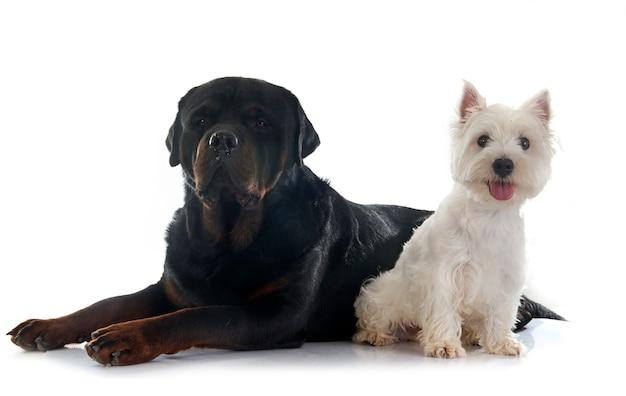 West highland terrier et rottweiler