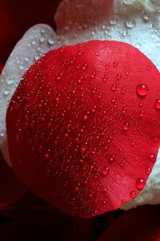 Wet close up macro pétales de rose, gouttes d'eau