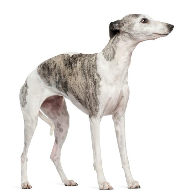 Whippet avec 12 mois. portrait de chien isolé