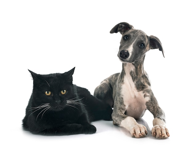 Whippet anglais et chat devant le fond blanc