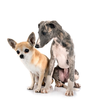 Whippet anglais et chihuahua in front of white background