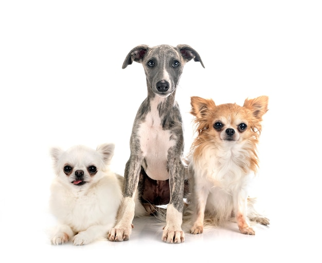 Whippet anglais et chihuahuas in front of white background
