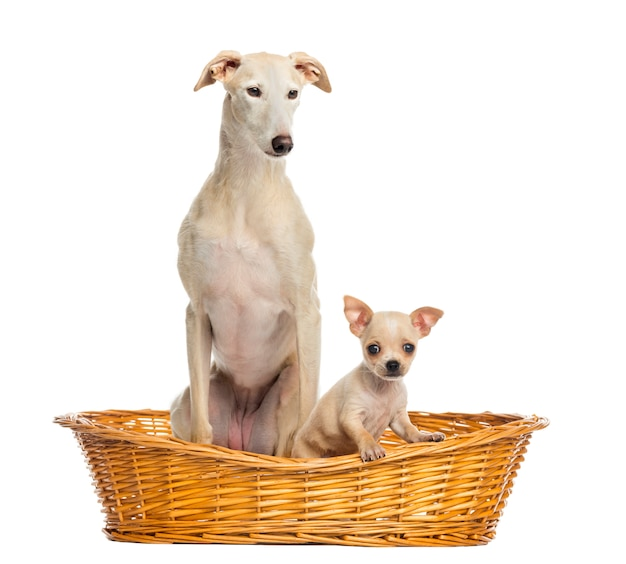 Whippet et chihuahua chiot dans un panier en osier isolé sur blanc