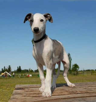 Whippet chiot