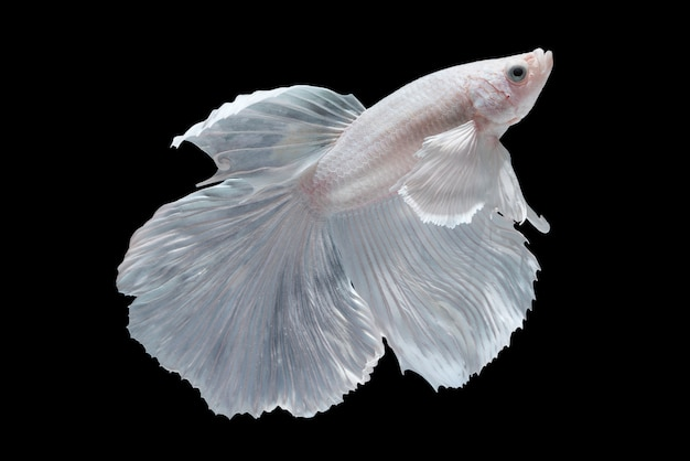 White halfmoon betta fish