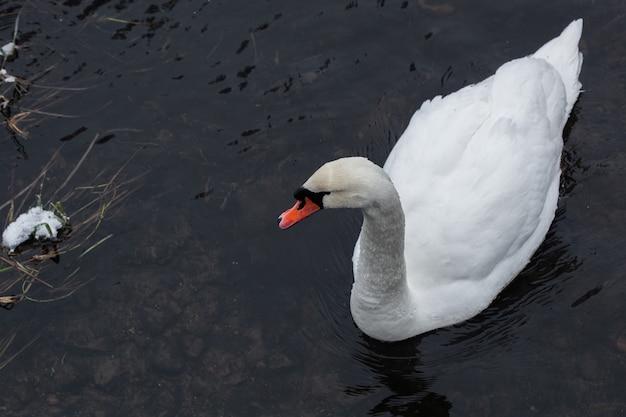 White swan close up sur l'eau près de la rive du lac couvert de neige à froide journée d'hiver
