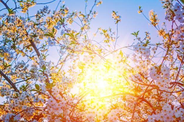 Wiew sur sunriese translucide à travers crone de floraison cerisier floral mur inatagram stile