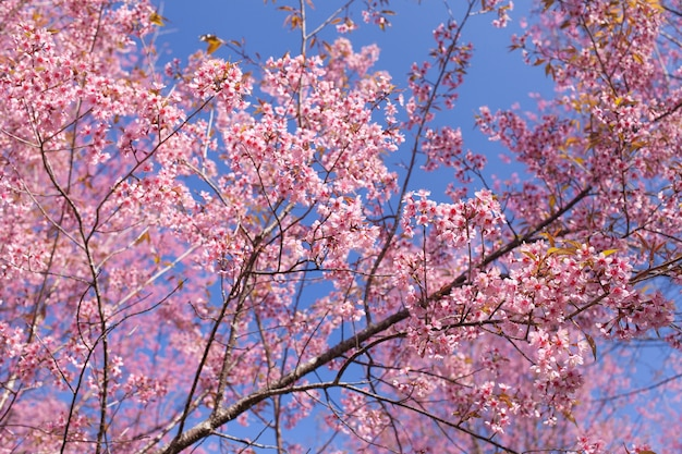 Wild himalayan cherry blossoms au printemps
