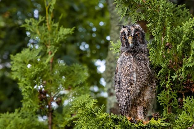 Wild longeared owlet asio otus portrait un oiseau mouillé après la pluie