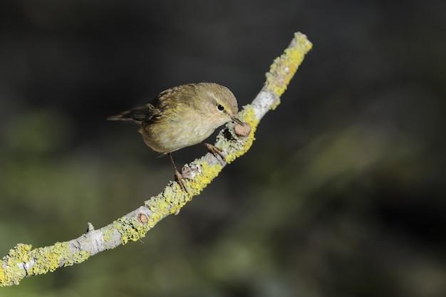 Willow warbler phylloscopus trochilus, malte, méditerranée