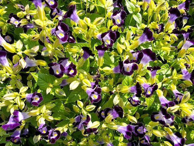 Wishbone fleur bluewings torenia fond de champ