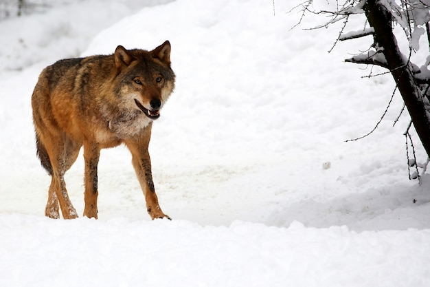 Wolf en hiver