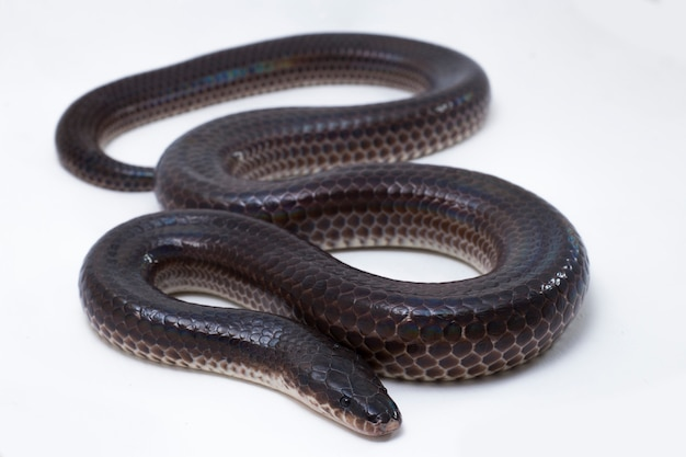 Xenopeltis unicolor sunbeam snake isolé sur fond blanc