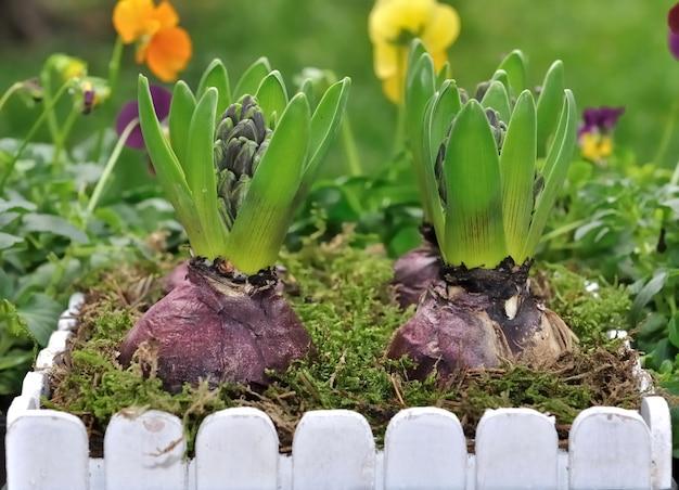 Yacinthes en pot de fleurs