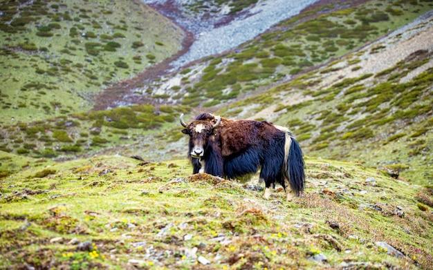 Yak animalier dans la vallée de chum, au népal.