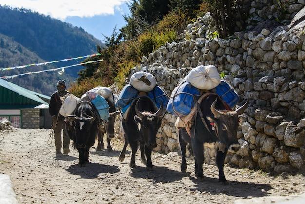 Yak au népal