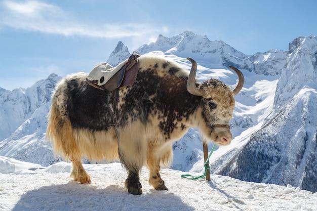 Yak blanc-noir est attaché sur un fond de montagnes