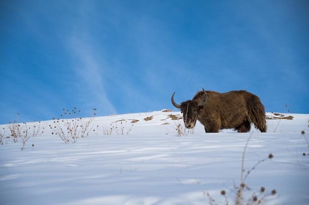 Yak sauvage dans la montagne enneigée