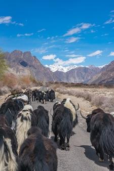 Yak sauvage marchant sur la route menant au paysage de montagne à leh, en inde.