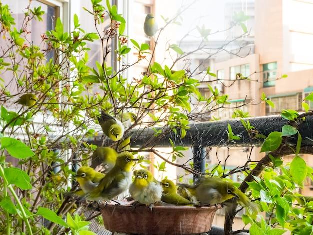 Yeux blancs japonais, zosterops japonica dans le bain