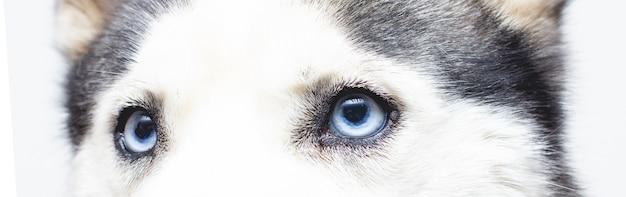 Yeux bleus. yeux de husky sibérien