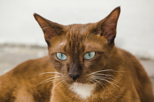 Les yeux du chat brun sur le sol regardent