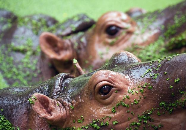Les yeux de l'hippopotame dans le lac.