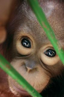 Yeux de singe