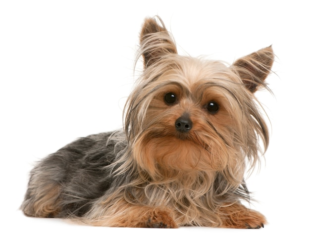 Yorkshire terrier (1 an)