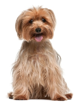 Yorkshire terrier, 14 ans, assis