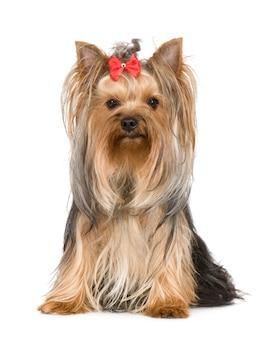 Yorkshire terrier avec 15 mois. portrait de chien isolé
