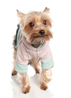 Yorkshire terrier avec 3 ans. portrait de chien isolé