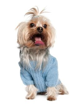 Yorkshire terrier avec 4 ans. portrait de chien isolé