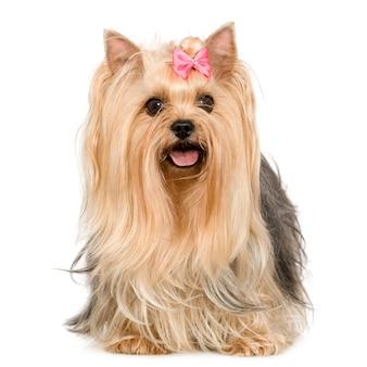 Yorkshire terrier avec 6 ans. portrait de chien isolé