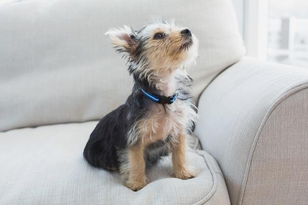 Yorkshire terrier assis sur le canapé