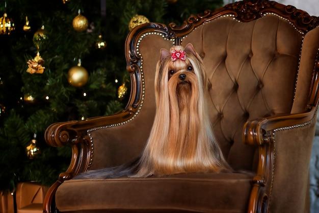 Yorkshire terrier sur une chaise