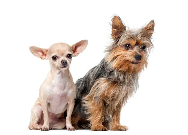 Yorkshire terrier et chihuahua assis devant un mur blanc