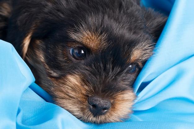 Yorkshire terrier de chiot en studio gros plan