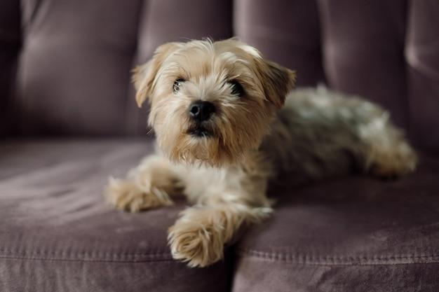 Yorkshire terrier avec une coupe de cheveux à la mode et un pelage soyeux et soigné se trouve sur un canapé en velours rose gros plan concept d'animaux de compagnie dans la vie moderne beauté et santé des animaux alimentation et élevage