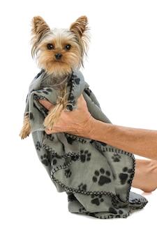 Yorkshire terrier dans une couverture tenue par sa maîtresse sur fond blanc