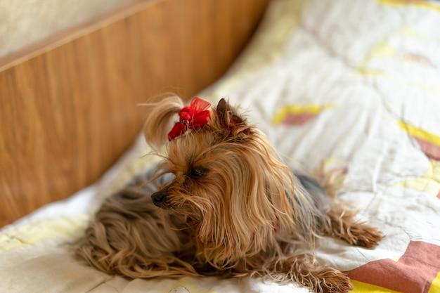 Yorkshire terrier est sur le lit