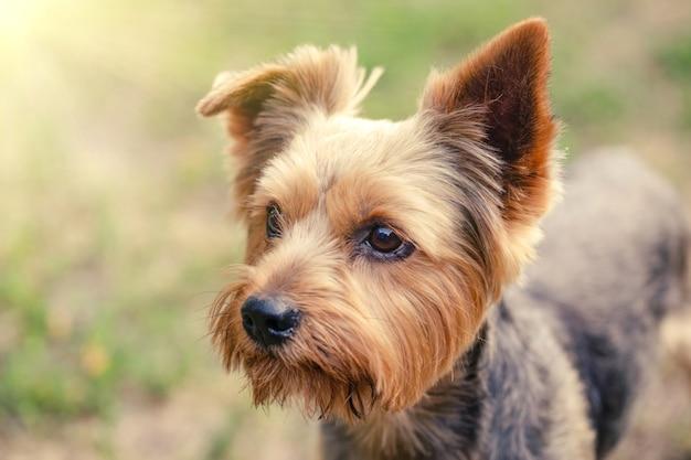 Yorkshire terrier sur fond d'herbe