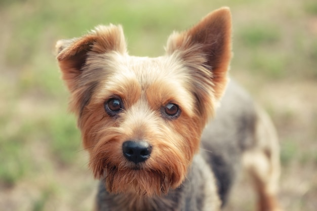 Yorkshire terrier sur fond vert naturel