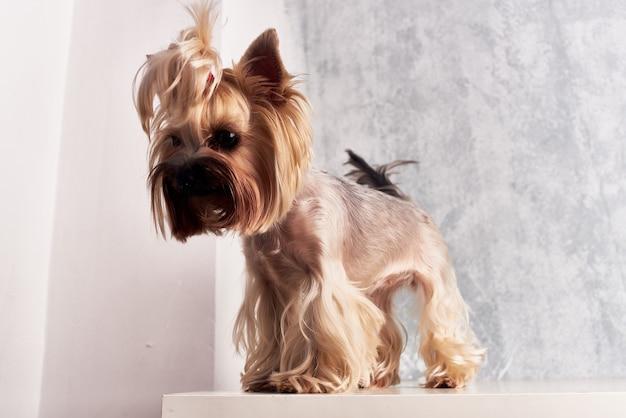 Yorkshire terrier mammifères ami du studio de pose humain