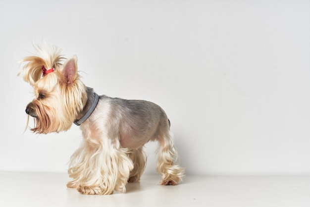 Yorkshire terrier mammifères ami de fond isolé humain