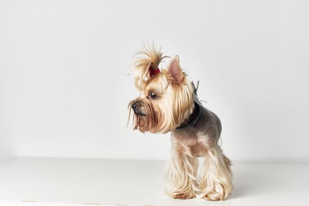 Yorkshire terrier pedigree look mignon fond clair